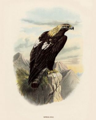 Eagle, Imperial by O V Riesenthal